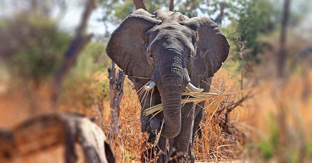 Chairman_elephant